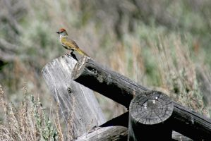 Green Tailed Towhee by Kippenwolf
