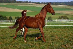 American Saddlebred Stock 18 by LuDa-Stock