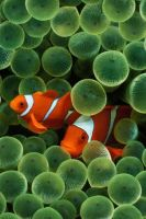 Clownfish by shadowtek
