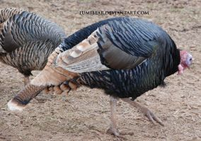Meleagris gallopavo - Domestic turkey 4 by lumibear