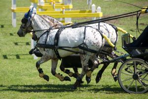 Appaloosas, carriage driving - Stock by hh-harley
