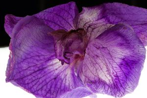 Dried Orchid Flower Close-up by FeralWhippet