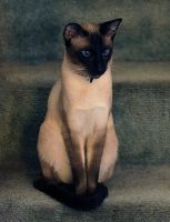 Siamese Portrait by photoboater