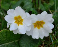 Primrose Time Again by Forestina-Fotos