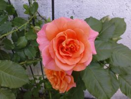 Stock Rose 1 by back2mono