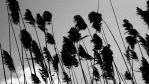 Cattails in the Wind by BlanKSubmission