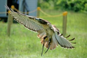 Red Tailed Hawk Approach by Kippenwolf