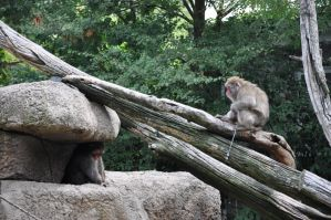 Japanese Macaques by Demi-Plum