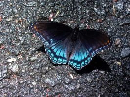 Butterfly on Asphalt by isha-1