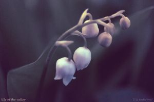 Lily of the Valley by DDKonstantinov
