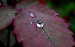 Of new leaves and dew drops by Akash21593