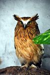 Buffy Fish Owl by DavidGrieninger