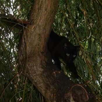 Black Pantherion by Abrimaal