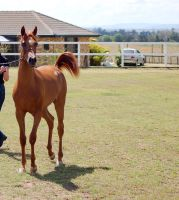 GE Arab filly chestnut slow trot looking at camera by Chunga-Stock