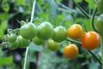 Through The Tomato Vine by BeanSprout-Photog