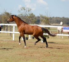 GE Arab bay trot haunches dropped  side by Chunga-Stock
