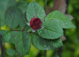 Bud in the rain by Tailgun2009