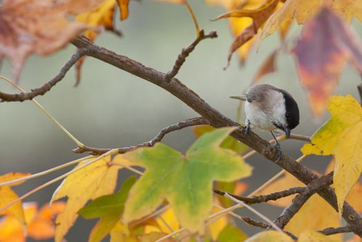 Mesange nonnette - black capped chickadee by Tom-Mosack