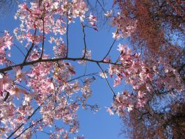Crabapple branch 04 by CotyStock