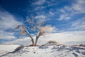 Desert Tree in White Sands National Monunment, NM by ralfkaiser