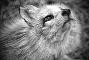BW - Marble fox by Tairenar