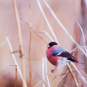 Bullfinch by FreyaPhotos