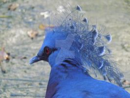 Victoria Crown Pigeon by PioneeringAuthor