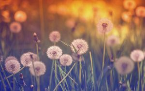 .: Dandelion Dreams :. by Frank-Beer