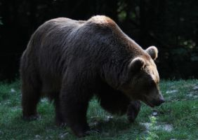 Eurasian brown bear by Parides