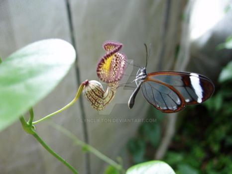 butterfly on pitcher plant by lynclifton