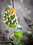 Orange Tip Butterfly by iriscup