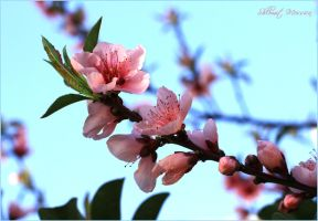 Peaches flowers by ShlomitMessica