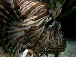 Lion Fish by Malakhite
