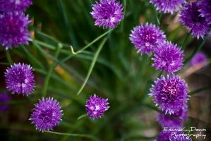 Chive flowers. Day 157 - 06/06/13 by oEmmanuele