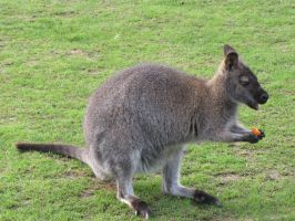 Stock - Wallaby 3 by ladykraut