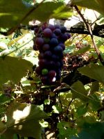 Grapes on the Vine by LearaStock