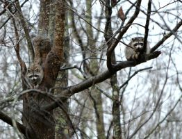 Tree Raccoons by jennalynnrichards