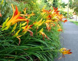Line of Lilies by lupagreenwolf