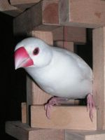 Java sparrow Niau-er by Scottvisnjic