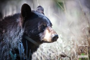 Black Bear by C-Zavala