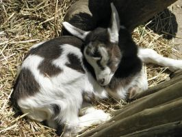 Sleeping Baby Goat by Tinydog-Tinydog
