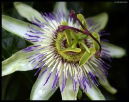 Passion Flower by Hitomii