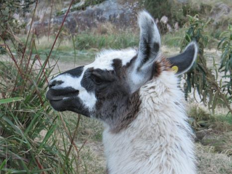 Lama 2 [Stock] by PukiPhotography