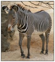 Zebra by shawn529