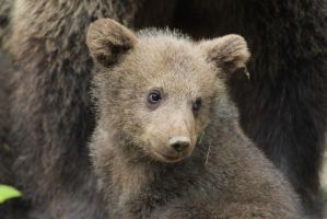 Bear cub 5 by Linay-stock