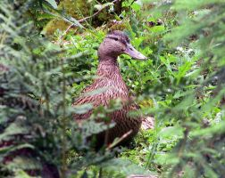Duck by lordfreedom