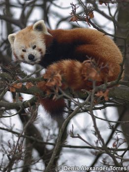 Red Panda by torreoso