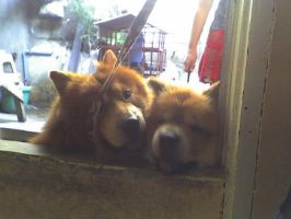 two chow by kur0nek013