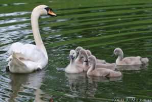 Swan Family by Nawamane