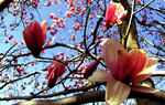 star magnolias by clandestinely